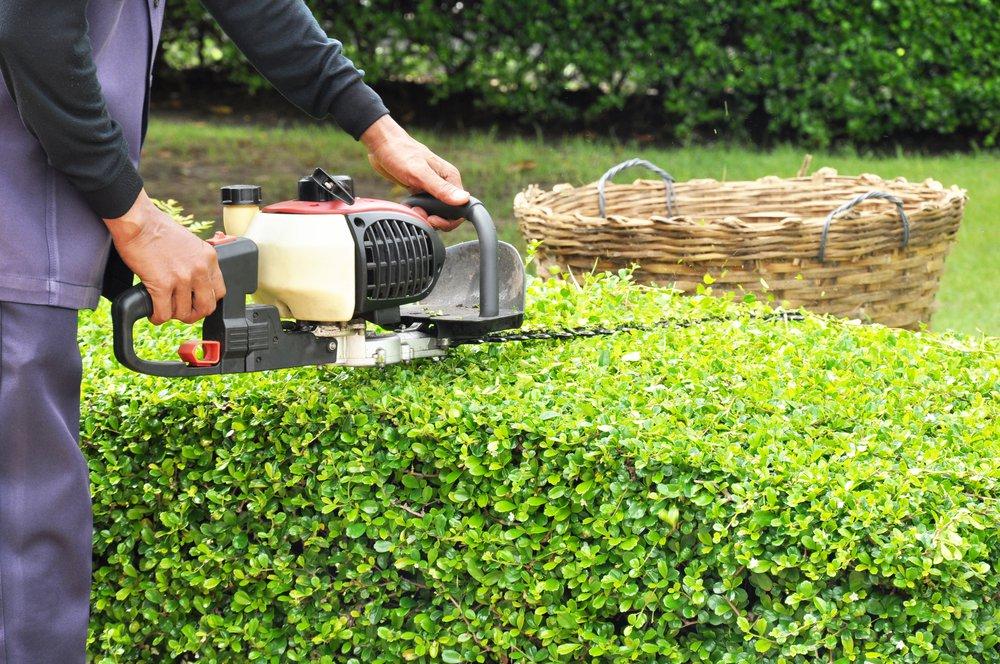 Upravuje sa zelený okrasný krík v záhrade